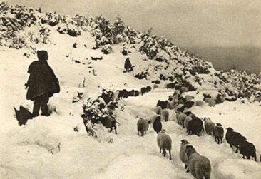 Sheeps in Olympus