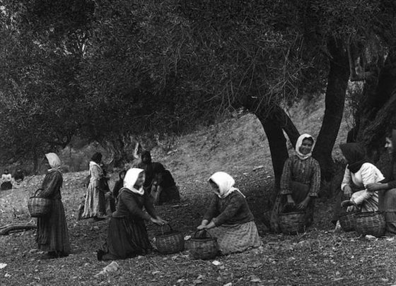 Preveli Crete, picking the olives